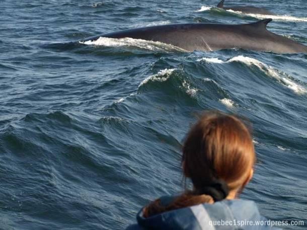 Rencontre aussi impressionnantes que touchante avec les baleines de Tadoussac au Québec  (sur la photo le petit rorqual)