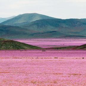Quand un desert se transforme en champ de fleurs!